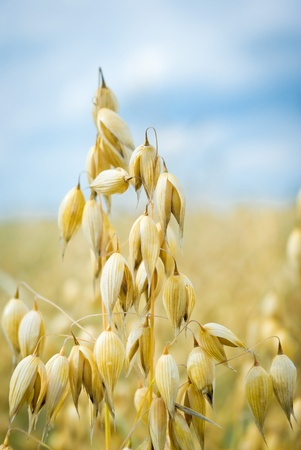 field of golden oats and blue sky, agricultural field   Stock Photo