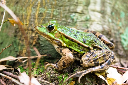 Frog in its natural habitat in a woodland, wild frog photo