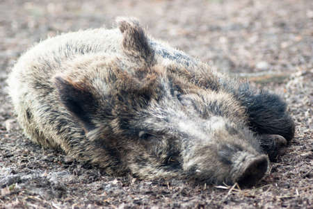 wild boar in grass, before a thicket photo