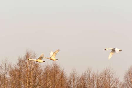 Image shows duck flighting on sky, birds series photo