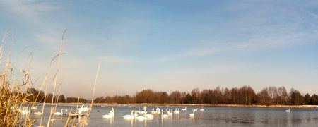 swan on blue lake water in sunny day, swan on pond photo