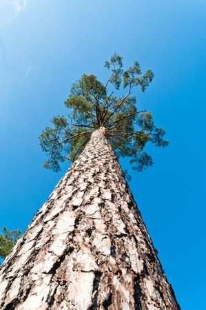 big tree: old big tree on color background with blue sky Stock Photo