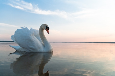 birds lake: swan on blue lake water in sunny day, swans on pond, nature series