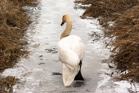 swan on blue lake water in sunny day, swans on pond, nature series photo