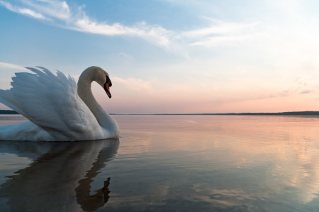 swimming swan: swan on blue lake water in sunny day, swans on pond, nature series