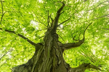 trunk  tree: �rbol grande y viejo en el fondo de color verde, con hojas verdes