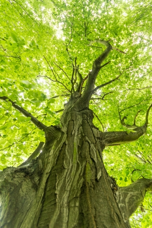 solitary tree: old big tree on color green background with green leafs