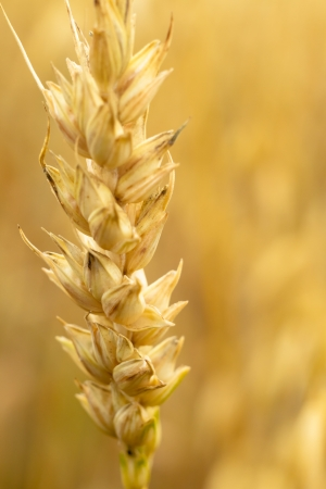 field of golden wheat and blue sky, agricultural field Stock Photo - 14660488