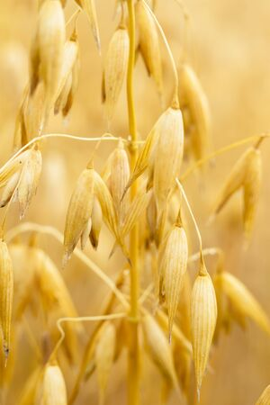 field of golden wheat and blue sky, agricultural field Stock Photo - 14665310