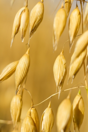 field of golden wheat and blue sky, agricultural field Stock Photo - 14931918