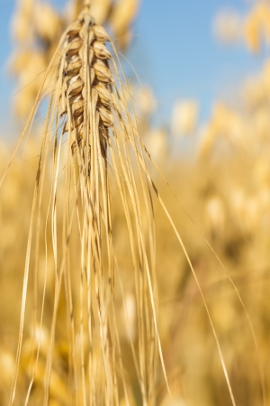 field of golden wheat and blue sky, agricultural field Stock Photo - 14931917