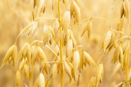 field of golden wheat and blue sky, agricultural field Stock Photo - 14931922