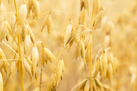 field of golden wheat and blue sky, agricultural field Stock Photo - 14931910