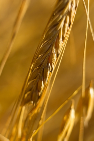 field of golden wheat and blue sky, agricultural field photo