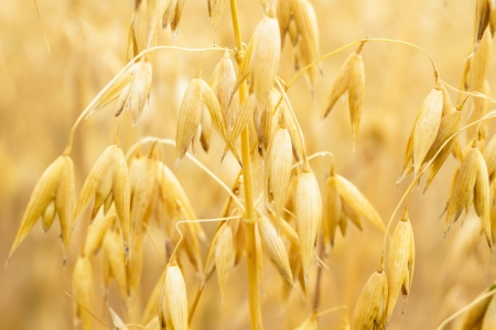 field of golden wheat and blue sky, agricultural field Stock Photo - 14931930