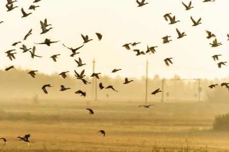 bandada pajaros: muchas aves que vuelan en el cielo, serie de la naturaleza