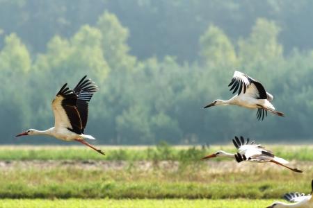 vol d oiseaux: de nombreux oiseaux volent dans le ciel, s�rie nature