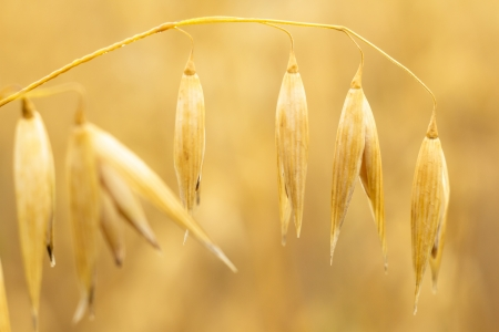 field of golden wheat and blue sky, agricultural field Stock Photo - 15086067