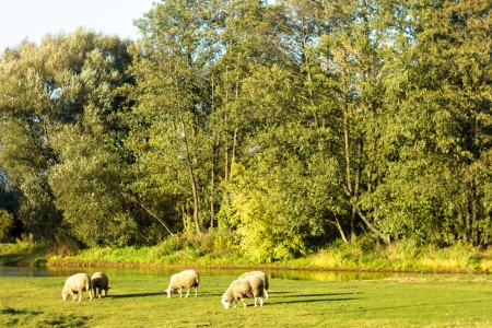 sheep on grass with blue sky, some looking at the camera photo