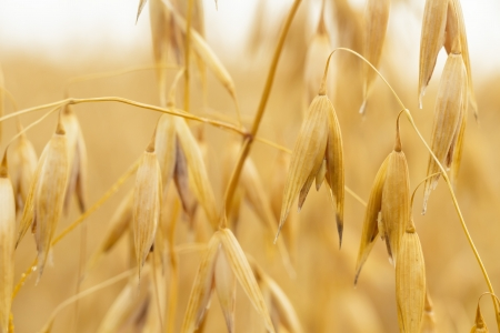 field of golden wheat and blue sky, agricultural field Stock Photo - 15998827