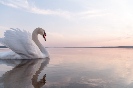 swan on blue lake water in sunny day, swans on pond, nature series Reklamní fotografie - 16422907