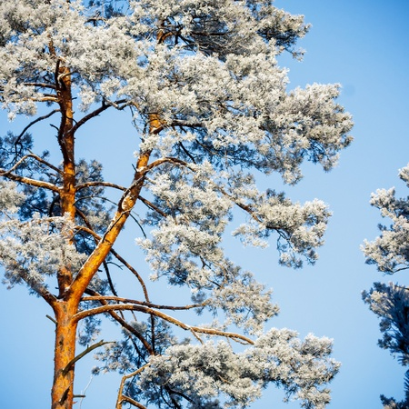 Old Big Tree On Color With Blue Sky Stock Photo, Picture And Royalty ...