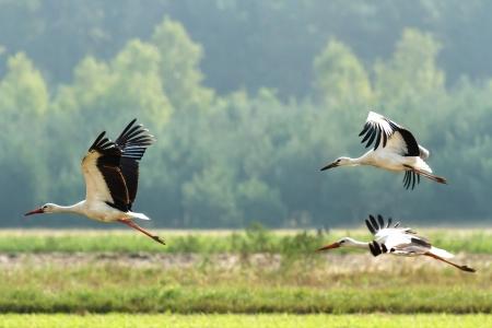 Storks on green grass in sunny day on field Standard-Bild