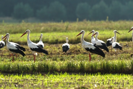 Storks on green grass in sunny day on field photo