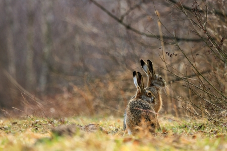 cute grey hare standing on the grass, nature series photo
