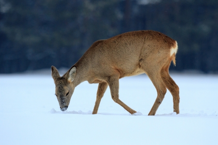 Roe deer over the forest background in sunny day Standard-Bild