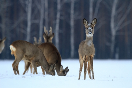 Roe deer over the forest in sunny day
