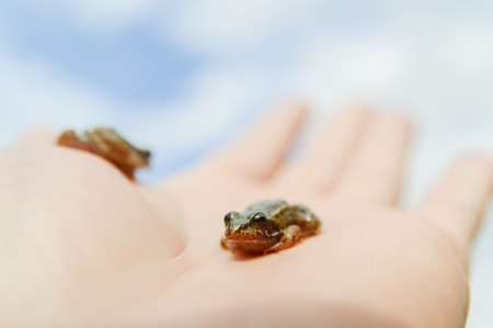small frog rescued from a busy road on hand as a background, nature series photo