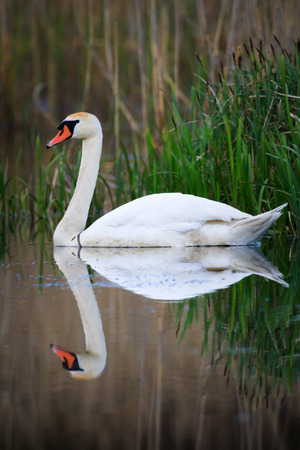 swan on blue lake water in sunny day, swans on pond, nature series Reklamní fotografie - 40133160