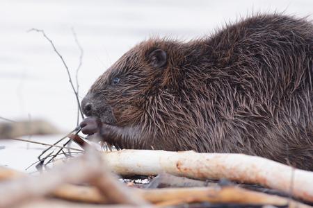 castor: disparo de un castor salvaje cerca del lago, la naturaleza serie Foto de archivo