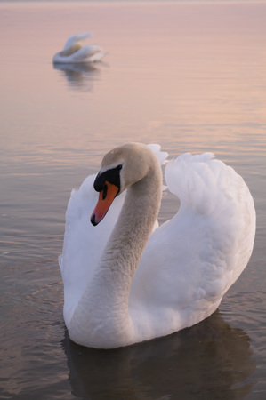 swimming swan: swan on lake water in sunny day, swans on pond, nature series