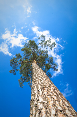 tree trunks: old big tree on color background with blue sky, nature series