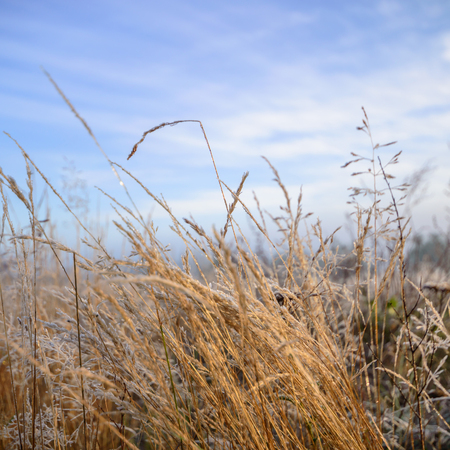 wild grass: wild grass under blue sky Stock Photo