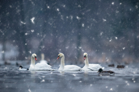 black plumage: swan on blue lake water in sunny day, swans on pond, nature series