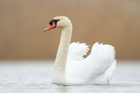 black plumage: swan on blue lake in sunny day, swans on pond, nature series
