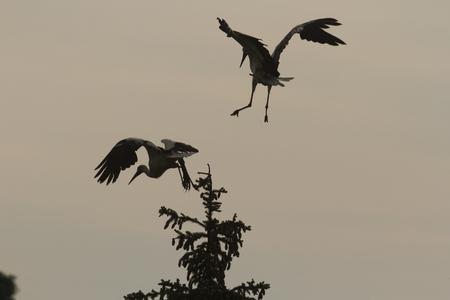 beine spreizen: St�rche fliegen, Natur-Serie