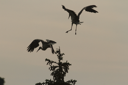 spread legs: storks flying, nature series