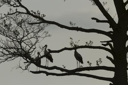 beine spreizen: Störche auf Baum, Natur-Serie