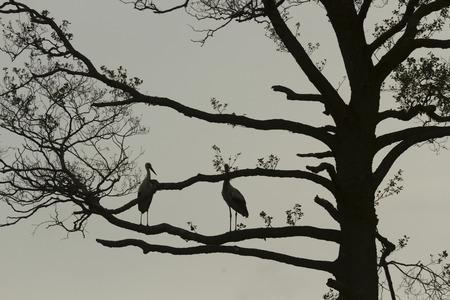 beine spreizen: St�rche auf Baum, Natur-Serie