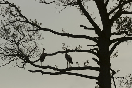 spread legs: storks on tree, nature series
