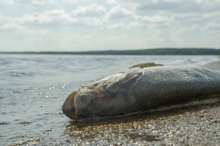 death fish on a river side, pollution, nature series Imagens