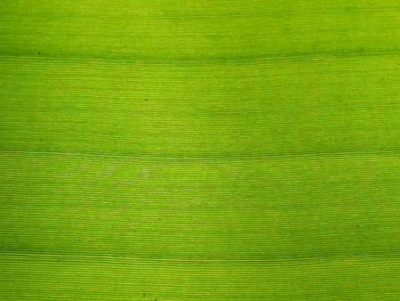 Texture background of backlight fresh banana green leaf use for decoration in Asian dishes