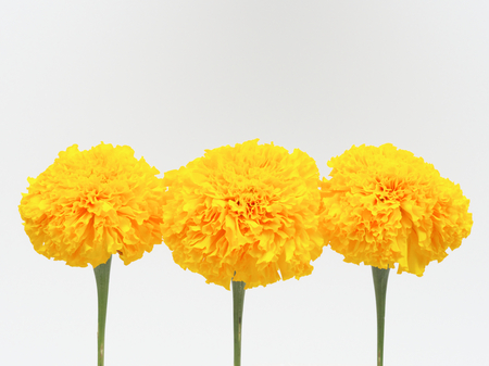 Yellow marigold flower isolated on white background stock photo stock photo yellow marigold flower isolated on white background mightylinksfo