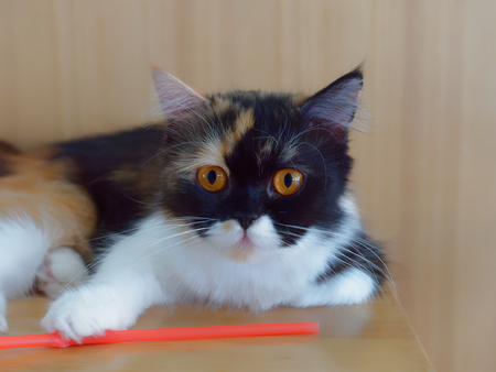 White and brown cat with marking on nose and mouth resting on wooden table with wooden background