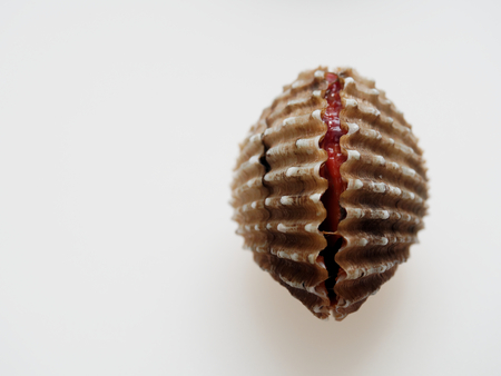 Raw cockle, ark shell, shot high angle view isolated on white background