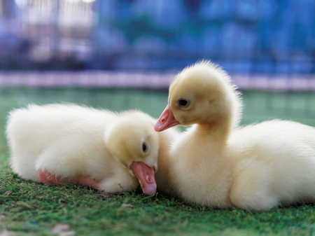 Young cute yellow ducks cuddling each other in the farm on blurred background